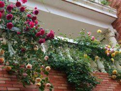 Trồng hoa hồng trên ban công
