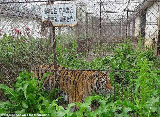 Hổ bị bỏ đói trong chuồng nuôi